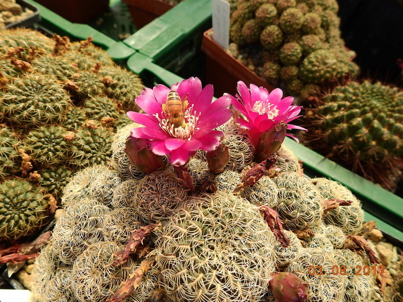 Cacti and Sukkulent in Köln, every day new flowers in the greenhouse Part 170 Bild1720