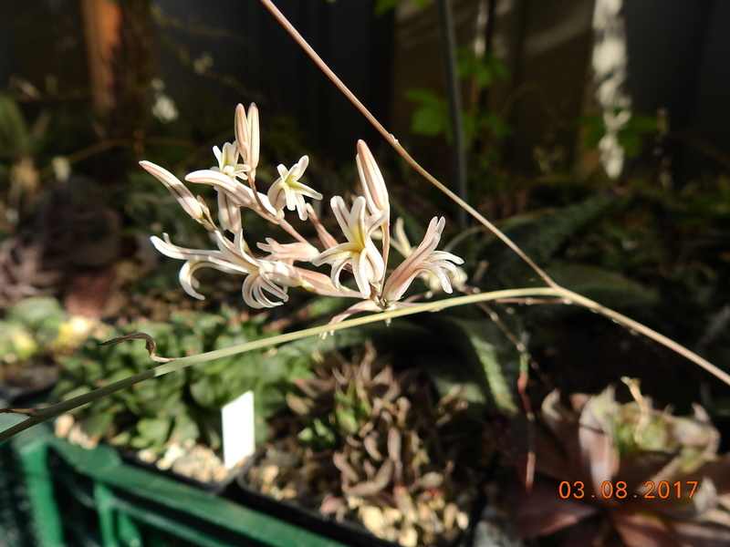 Cacti and Sukkulent in Köln, every day new flowers in the greenhouse Part 170 Bild1722