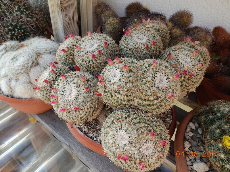 Cacti and Sukkulent in Köln, every day new flowers in the greenhouse Part 170 Bild1730