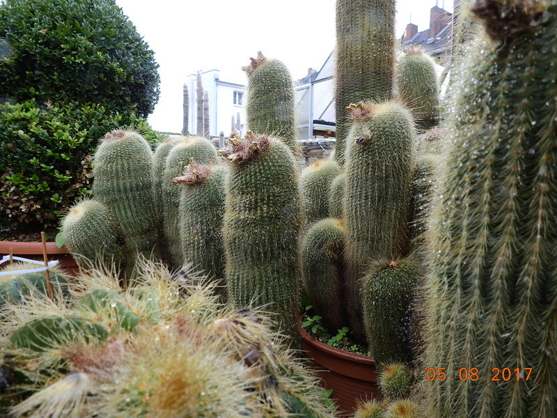 Cacti and Sukkulent in Köln, every day new flowers in the greenhouse Part 170 Bild1732