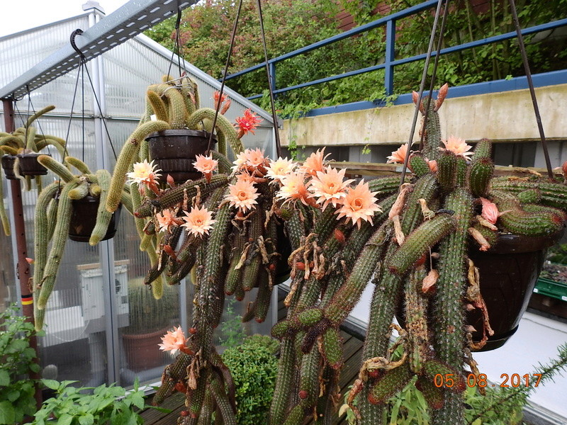 Cacti and Sukkulent in Köln, every day new flowers in the greenhouse Part 170 Bild1734