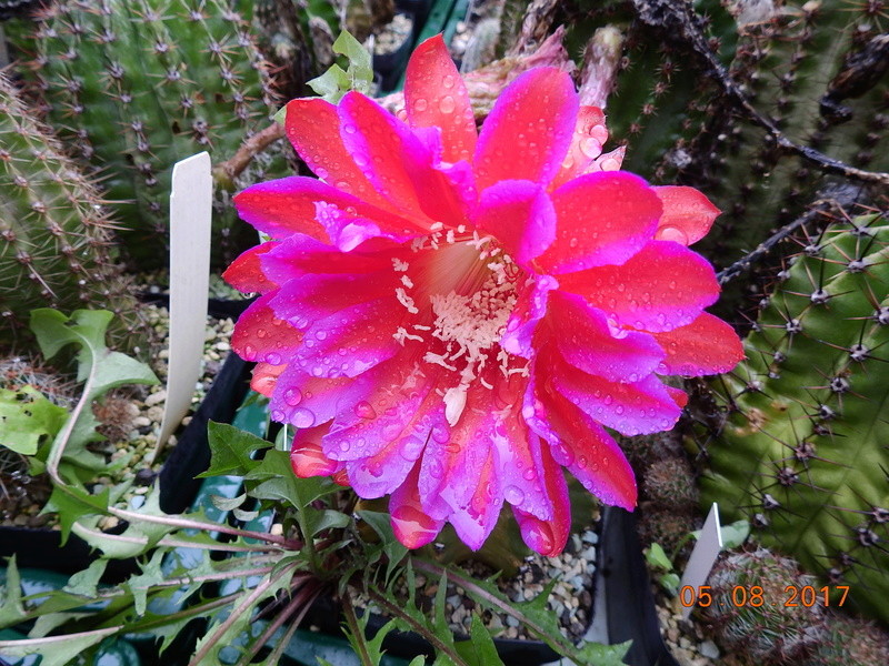 Cacti and Sukkulent in Köln, every day new flowers in the greenhouse Part 170 Bild1735