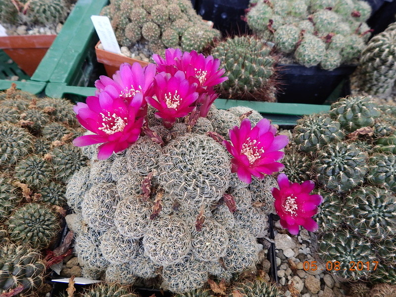 Cacti and Sukkulent in Köln, every day new flowers in the greenhouse Part 170 Bild1740