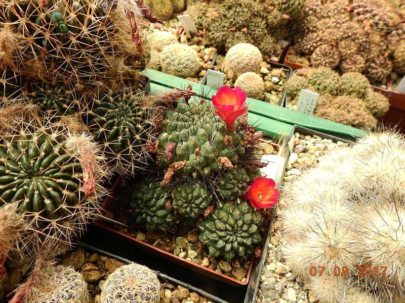 Cacti and Sukkulent in Köln, every day new flowers in the greenhouse Part 170 Bild1747