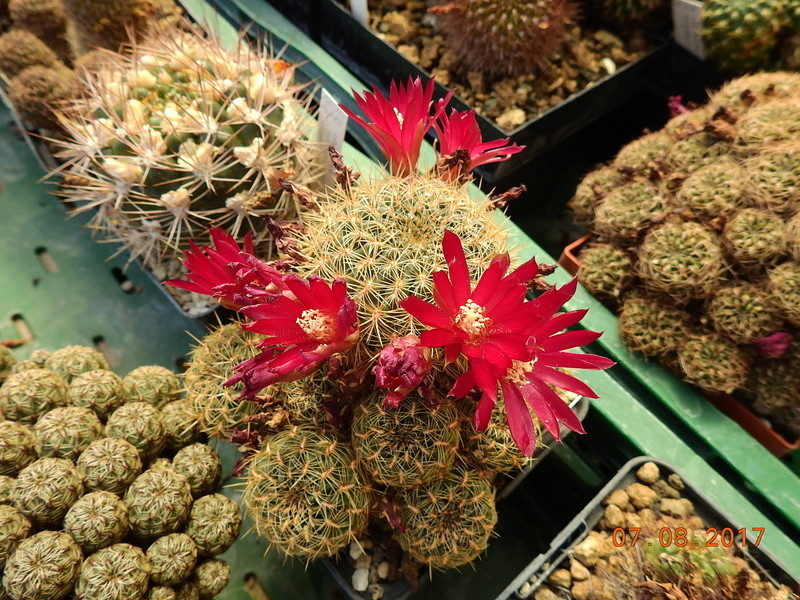 Cacti and Sukkulent in Köln, every day new flowers in the greenhouse Part 170 Bild1748