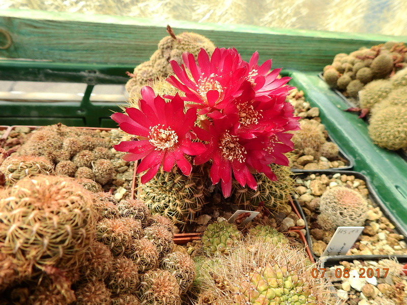 Cacti and Sukkulent in Köln, every day new flowers in the greenhouse Part 170 Bild1749