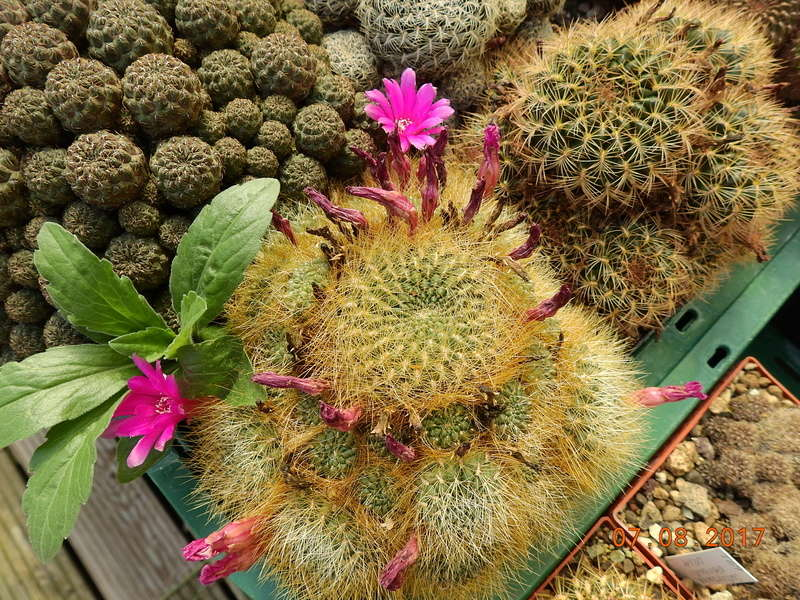 Cacti and Sukkulent in Köln, every day new flowers in the greenhouse Part 170 Bild1754