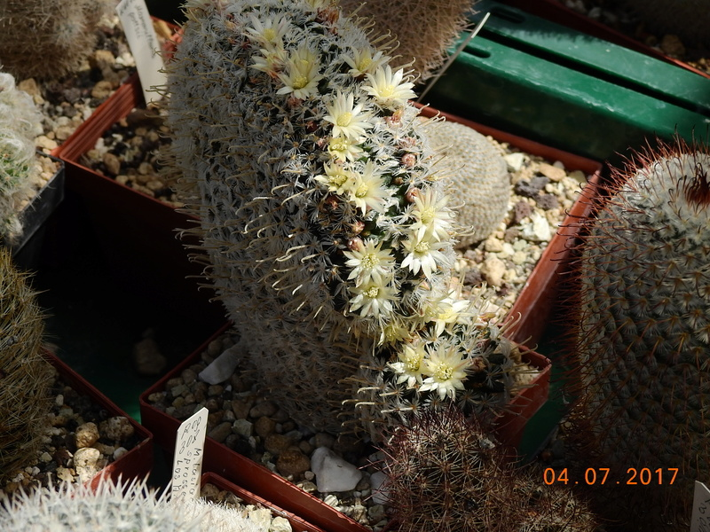 Cacti and Sukkulent in Köln, every day new flowers in the greenhouse Part 170 Bild1771