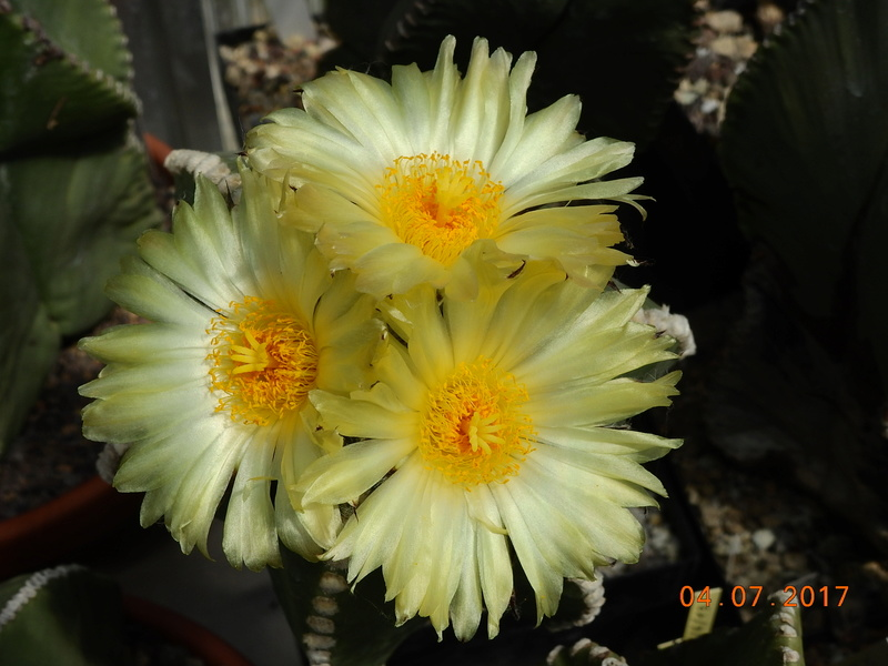 Cacti and Sukkulent in Köln, every day new flowers in the greenhouse Part 170 Bild1776