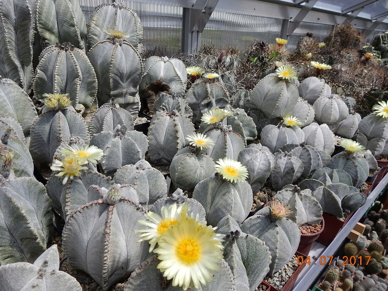 Cacti and Sukkulent in Köln, every day new flowers in the greenhouse Part 170 Bild1778