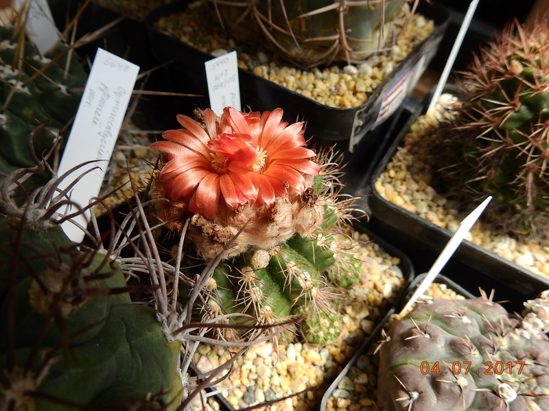 Cacti and Sukkulent in Köln, every day new flowers in the greenhouse Part 170 Bild1783