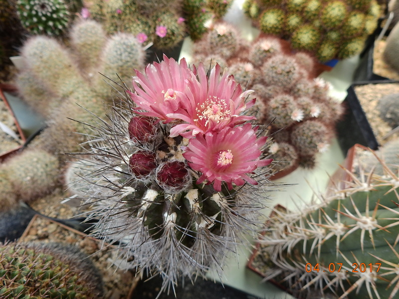 Cacti and Sukkulent in Köln, every day new flowers in the greenhouse Part 170 Bild1787