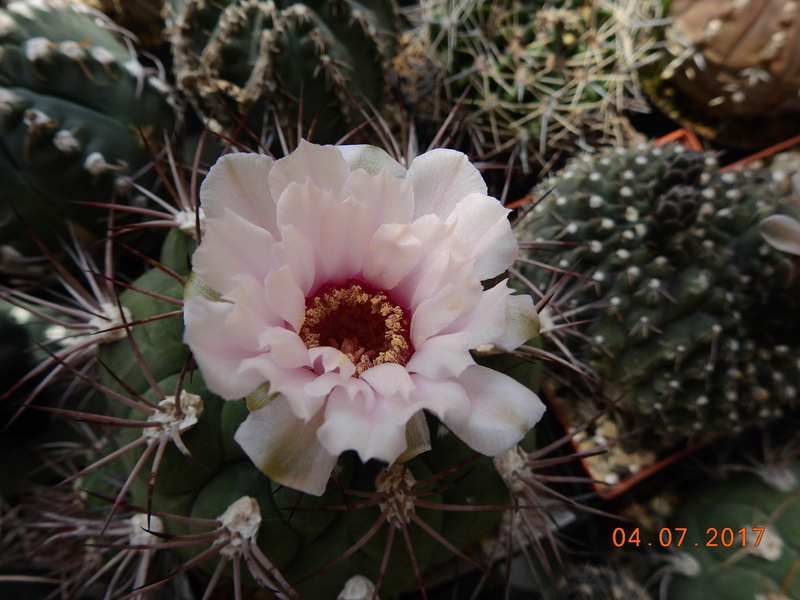 Cacti and Sukkulent in Köln, every day new flowers in the greenhouse Part 170 Bild1791