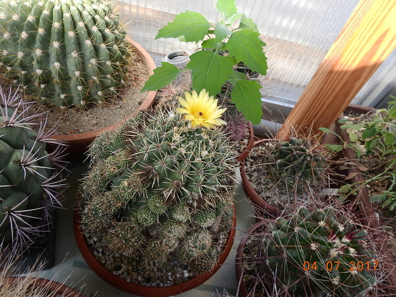 Cacti and Sukkulent in Köln, every day new flowers in the greenhouse Part 171 Bild1796
