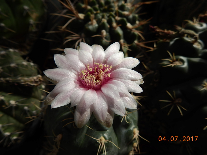 Cacti and Sukkulent in Köln, every day new flowers in the greenhouse Part 171 Bild1806