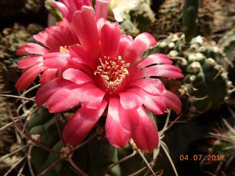 Cacti and Sukkulent in Köln, every day new flowers in the greenhouse Part 171 Bild1809