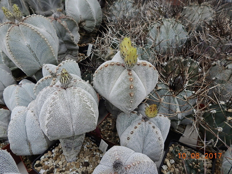 Cacti and Sukkulent in Köln, every day new flowers in the greenhouse Part 171 Bild1819