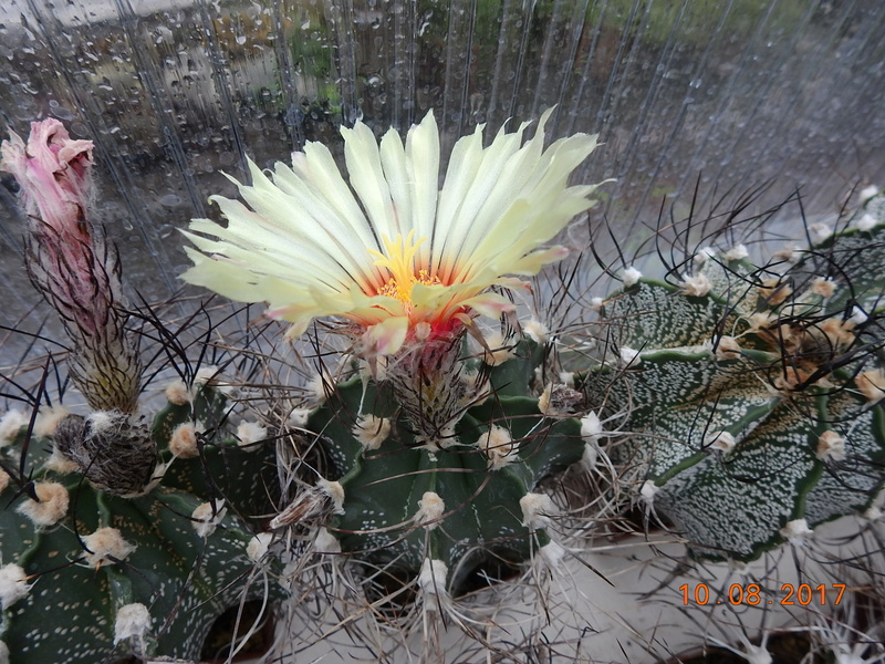 Cacti and Sukkulent in Köln, every day new flowers in the greenhouse Part 171 Bild1820