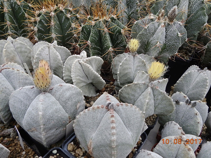 Cacti and Sukkulent in Köln, every day new flowers in the greenhouse Part 171 Bild1822