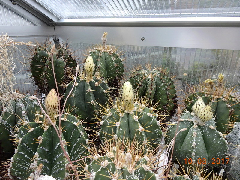 Cacti and Sukkulent in Köln, every day new flowers in the greenhouse Part 171 Bild1824