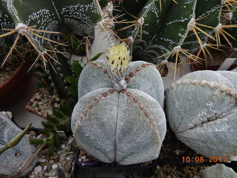 Cacti and Sukkulent in Köln, every day new flowers in the greenhouse Part 171 Bild1825
