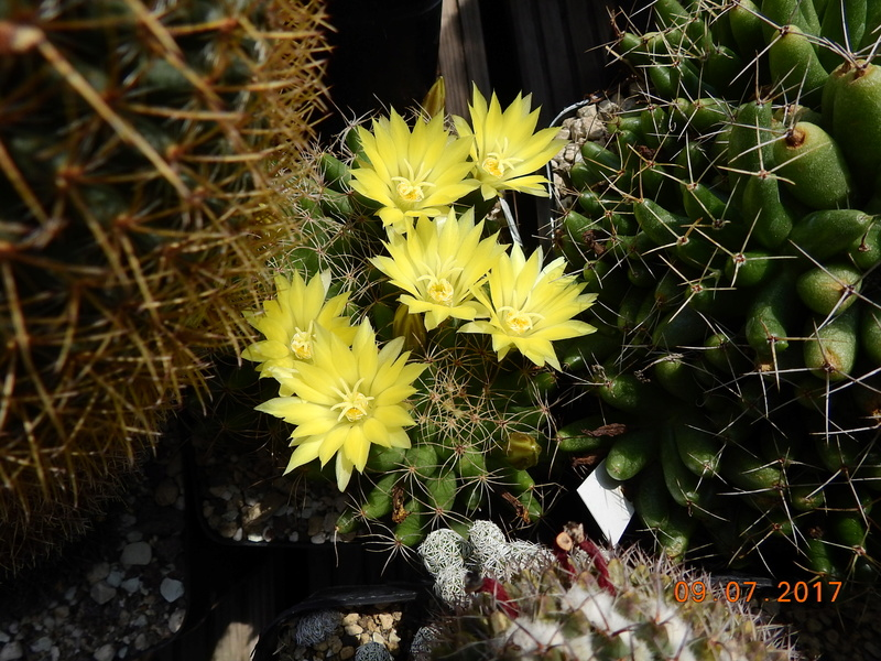 Cacti and Sukkulent in Köln, every day new flowers in the greenhouse Part 171 Bild1834