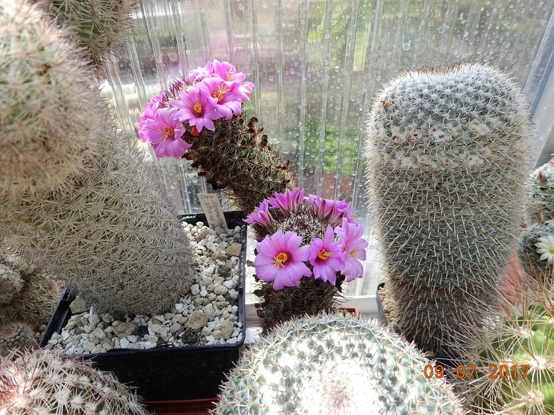 Cacti and Sukkulent in Köln, every day new flowers in the greenhouse Part 171 Bild1836