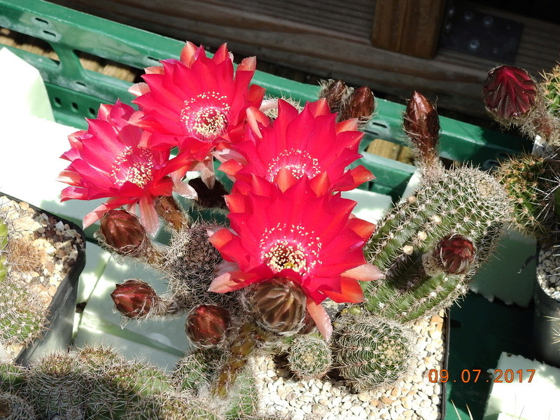 Cacti and Sukkulent in Köln, every day new flowers in the greenhouse Part 171 Bild1850