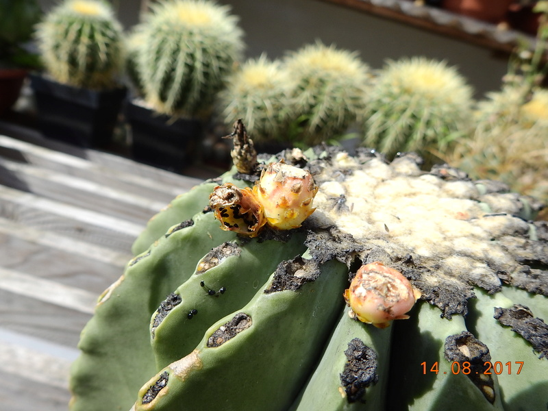 Cacti and Sukkulent in Köln, every day new flowers in the greenhouse Part 171 Bild1872