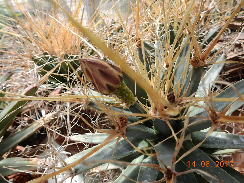 Cacti and Sukkulent in Köln, every day new flowers in the greenhouse Part 171 Bild1878