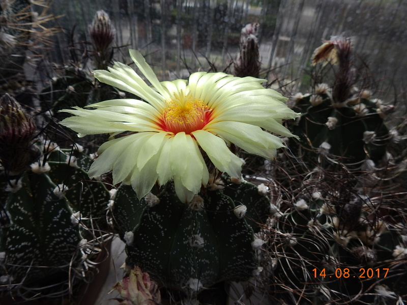 Cacti and Sukkulent in Köln, every day new flowers in the greenhouse Part 171 Bild1882