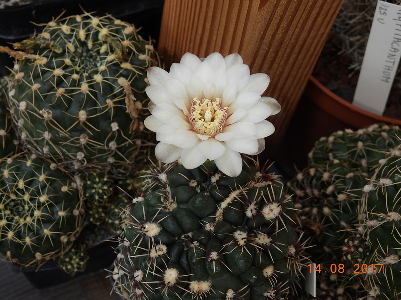 Cacti and Sukkulent in Köln, every day new flowers in the greenhouse Part 171 Bild1891