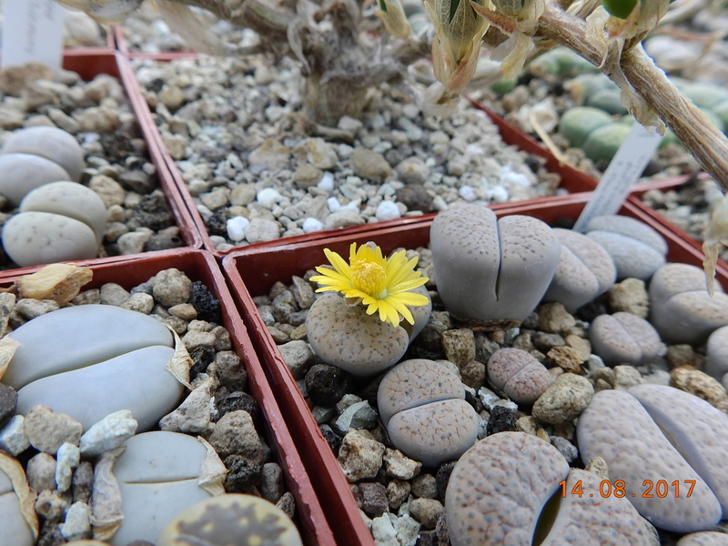 Cacti and Sukkulent in Köln, every day new flowers in the greenhouse Part 171 Bild1902