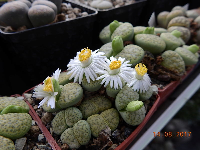 Cacti and Sukkulent in Köln, every day new flowers in the greenhouse Part 171 Bild1903