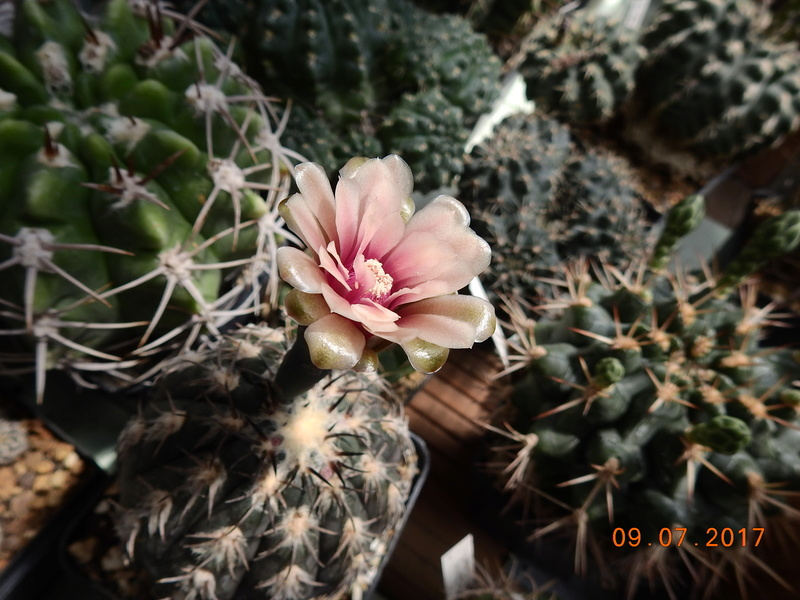 Cacti and Sukkulent in Köln, every day new flowers in the greenhouse Part 171 Bild1910