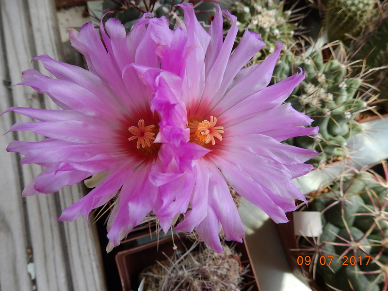 Cacti and Sukkulent in Köln, every day new flowers in the greenhouse Part 171 Bild1911