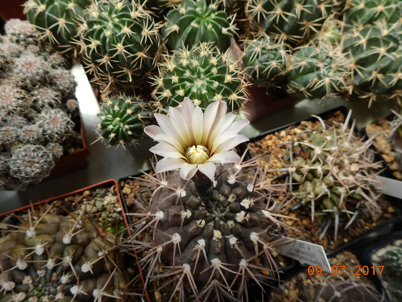 Cacti and Sukkulent in Köln, every day new flowers in the greenhouse Part 171 Bild1914