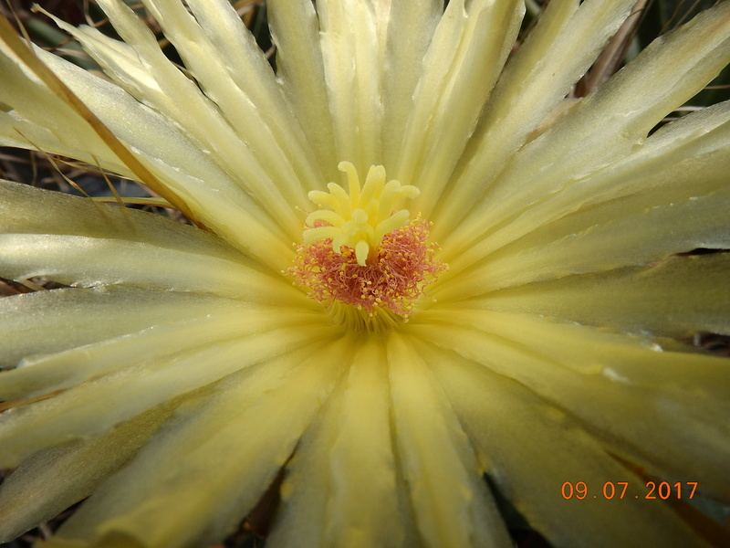 Cacti and Sukkulent in Köln, every day new flowers in the greenhouse Part 171 Bild1916
