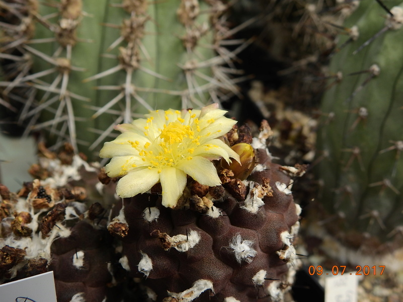 Cacti and Sukkulent in Köln, every day new flowers in the greenhouse Part 171 Bild1924