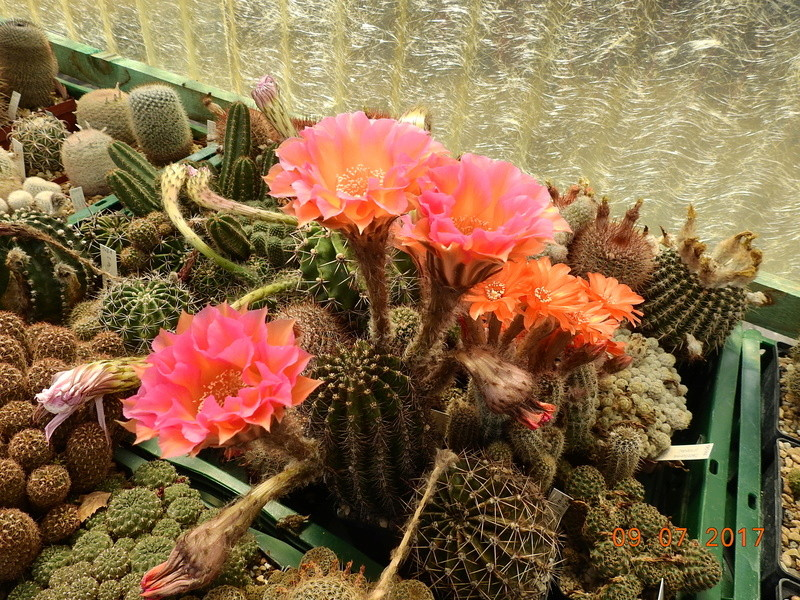 Cacti and Sukkulent in Köln, every day new flowers in the greenhouse Part 171 Bild1931