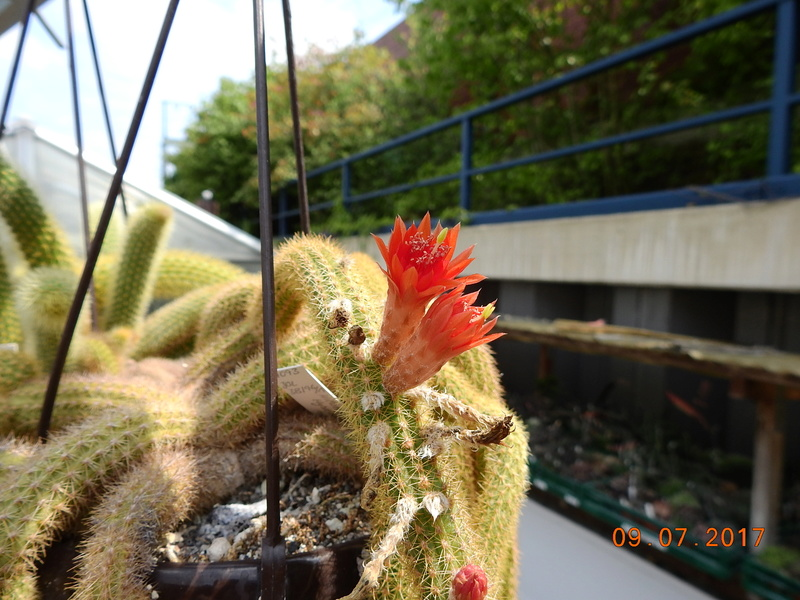 Cacti and Sukkulent in Köln, every day new flowers in the greenhouse Part 171 Bild1937