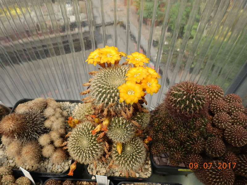 Cacti and Sukkulent in Köln, every day new flowers in the greenhouse Part 171 Bild1944