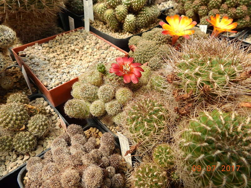 Cacti and Sukkulent in Köln, every day new flowers in the greenhouse Part 171 Bild1952