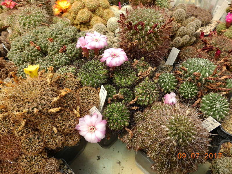 Cacti and Sukkulent in Köln, every day new flowers in the greenhouse Part 171 Bild1954