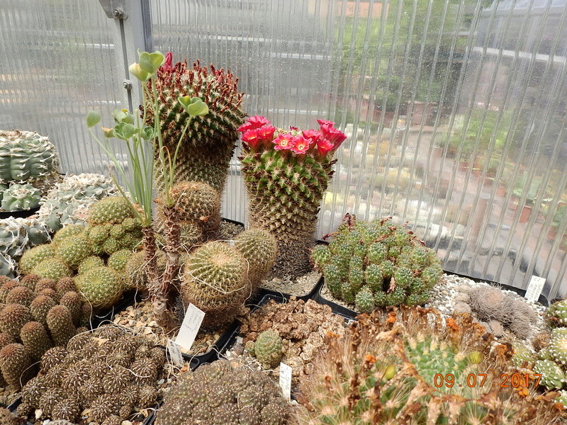 Cacti and Sukkulent in Köln, every day new flowers in the greenhouse Part 171 Bild1955