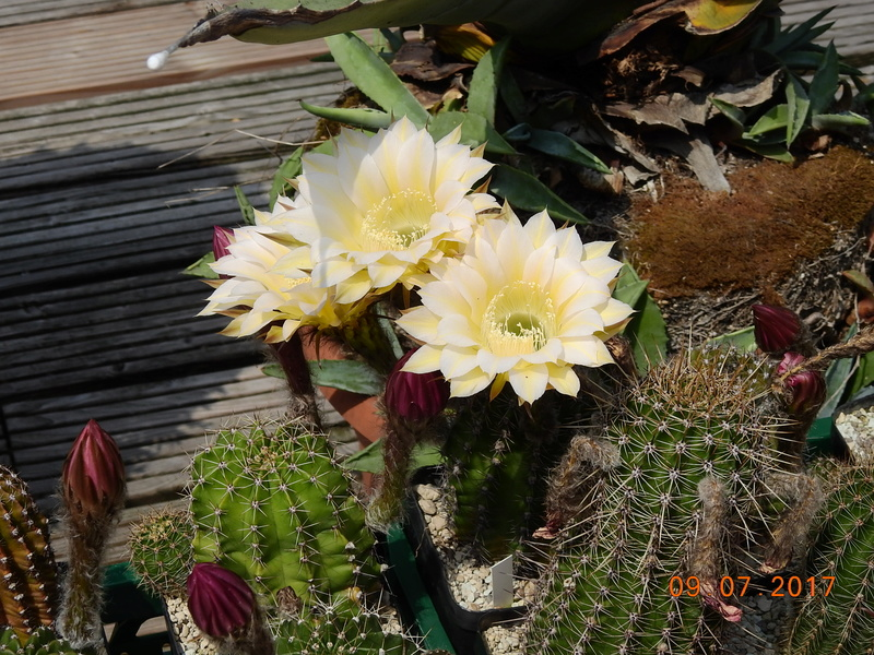 Cacti and Sukkulent in Köln, every day new flowers in the greenhouse Part 171 Bild1957