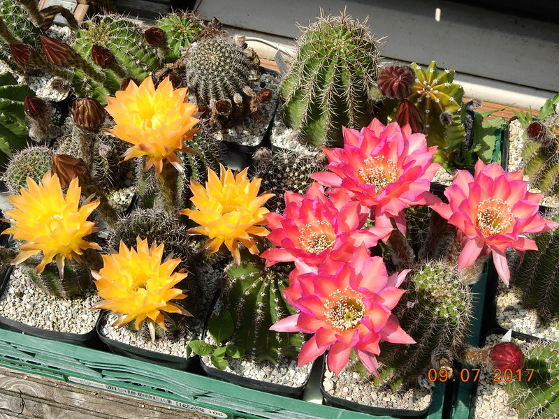 Cacti and Sukkulent in Köln, every day new flowers in the greenhouse Part 171 Bild1960