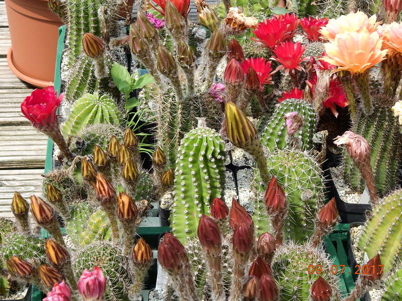 Cacti and Sukkulent in Köln, every day new flowers in the greenhouse Part 171 Bild1963