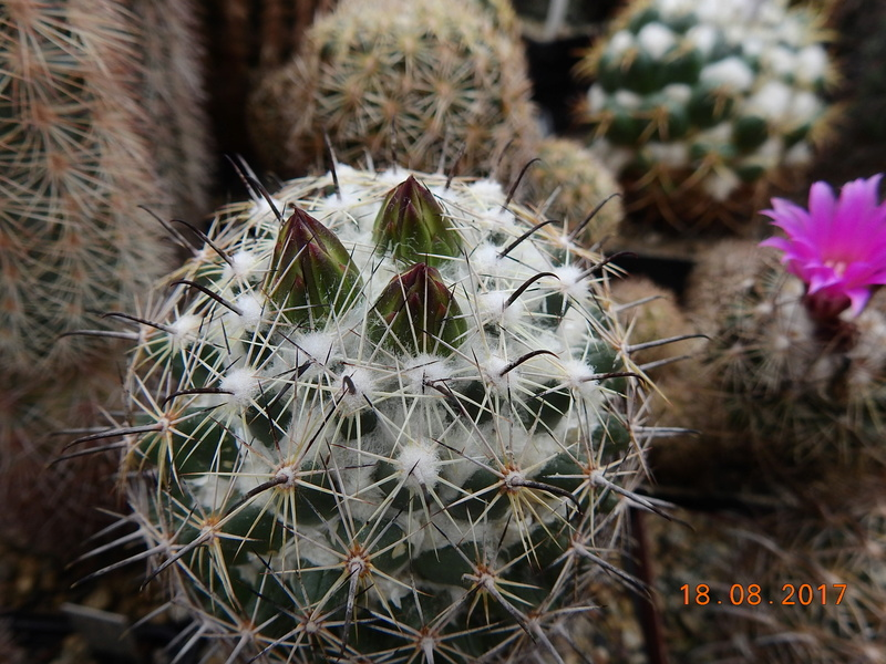 Cacti and Sukkulent in Köln, every day new flowers in the greenhouse Part 172 Bild1971