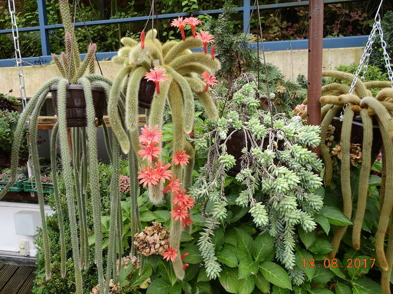 Cacti and Sukkulent in Köln, every day new flowers in the greenhouse Part 172 Bild1977